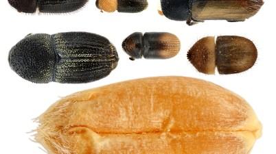 Pygmy borer beetles