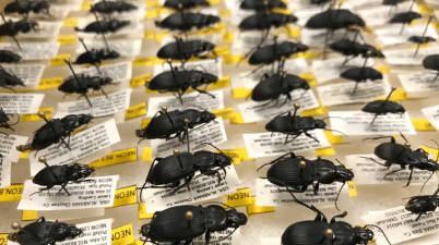 NEON beetle collection