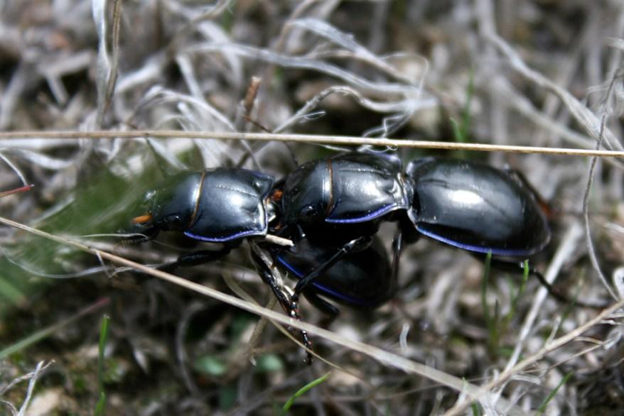 Pasimachus depressus beetles