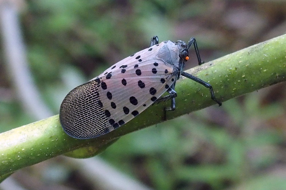 Tracking the Invasion: New Technique Traces Spotted Lanternflies for Life