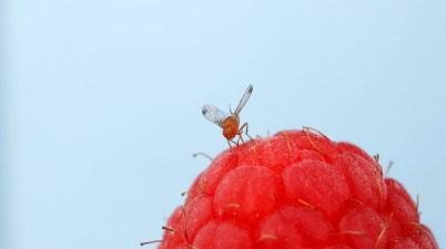 spotted wing drosophila (Drosophila suzukii)