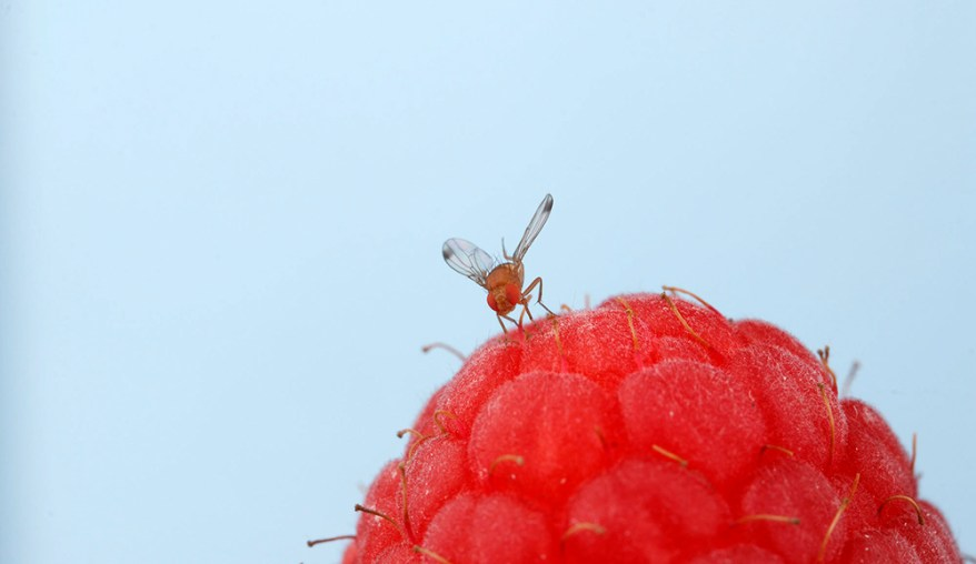 spotted wing drosophila (Drosophila suzukii)