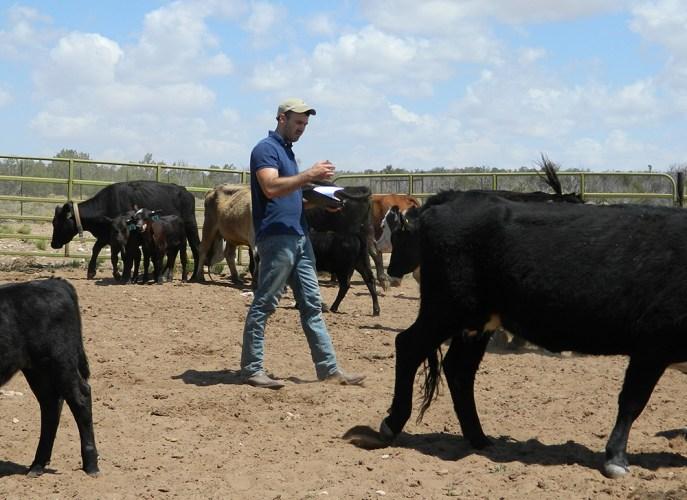 Brandon Smythe-cattle