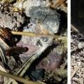 Paraneotermes simplicicornis soil excavation