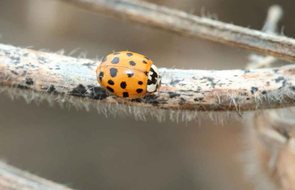 Limb Regeneration in Lady Beetles: Product of Selection or Developmental Byproduct?