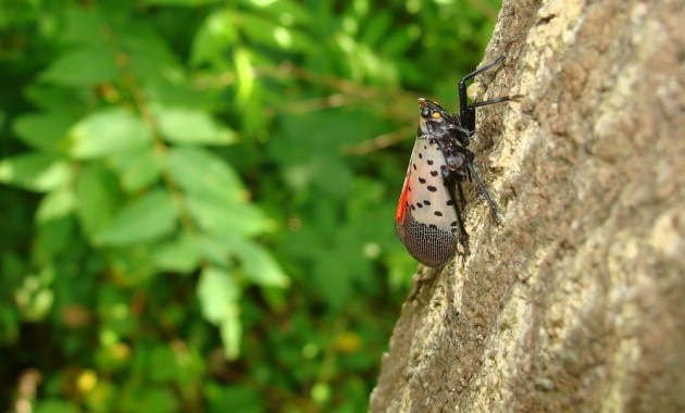 Spotted Lanternfly Tree