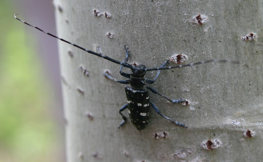 Asian Longhorned Beetle Adult