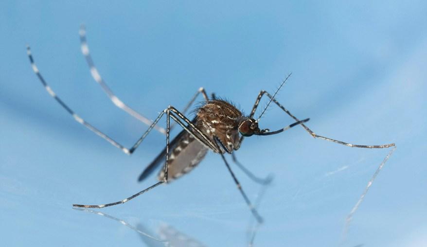 Culex tarsalis mosquito