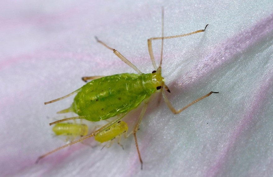 Pea aphid (Acyrthosiphon pisum)