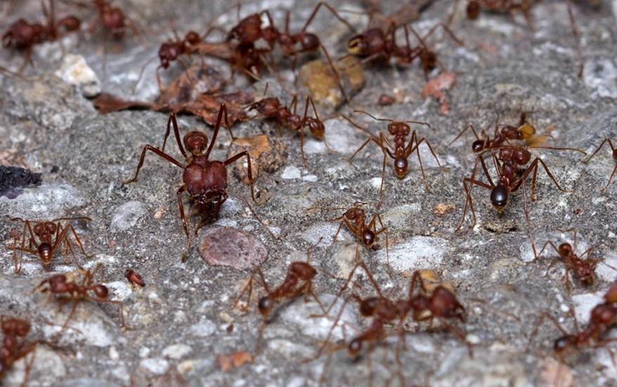 Texas leafcutting ants, Atta texana