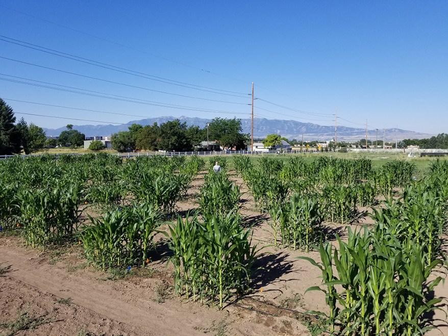corn field study