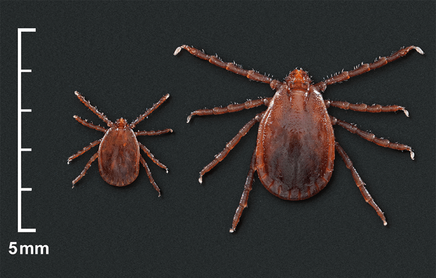 Asian longhorned tick (Haemaphysalis longicornis) nymph and female