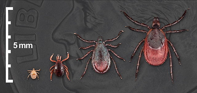 blacklegged tick life stages on U.S. dime