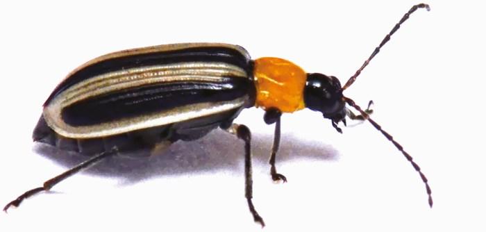 western striped cucumber beetle (Acalymma trivittatum)
