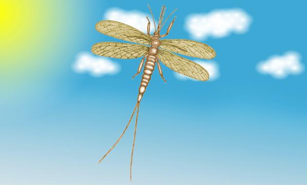 Brodioptera sinensis