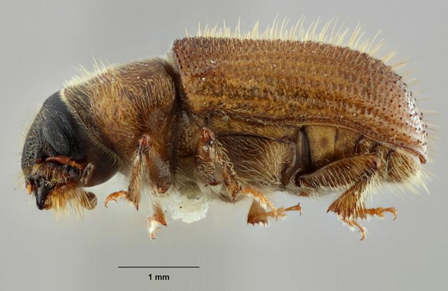Douglas-fir beetle (Dendroctonus pseudotsugae)