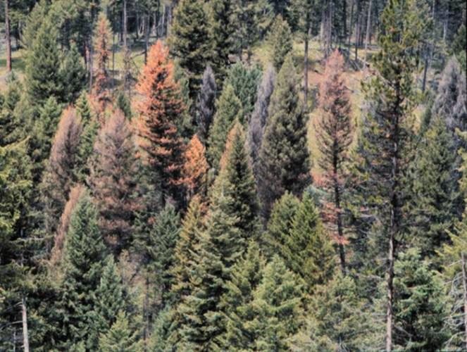 trees killed by Douglas-fir beetle
