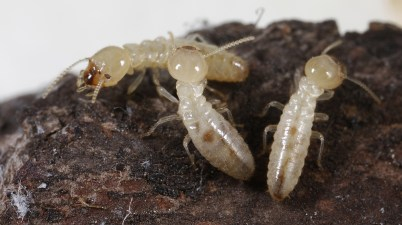 eastern subterranean termites (Reticulitermes flavipes)