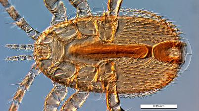 Tropilaelaps clareae mite
