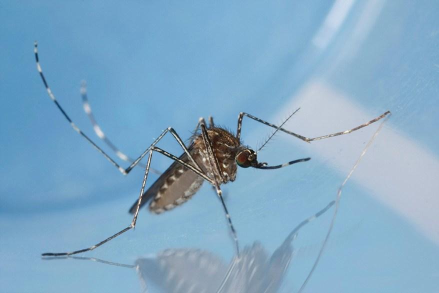 Culex tarsalis female mosquito