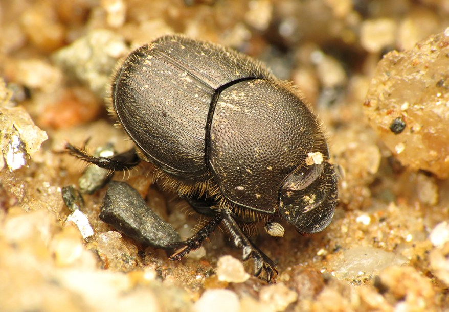 Onthophagus hecate dung beetle