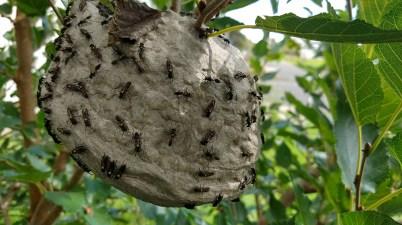 Polybia paulista wasp nest