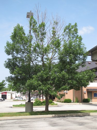 ash tree with emerald ash borer damage