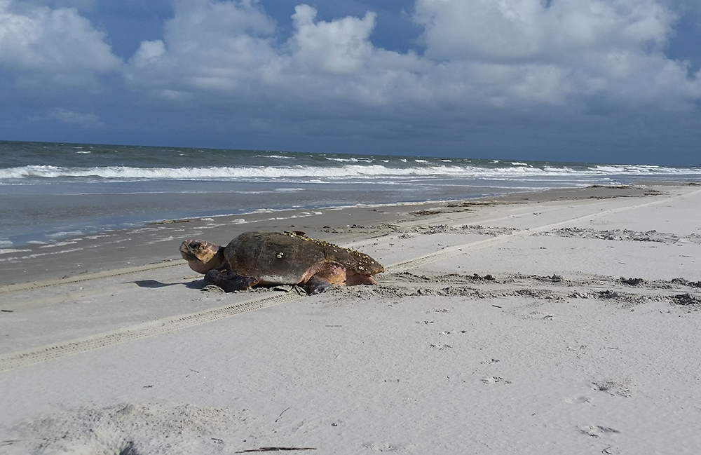 Ants in the Nest: A Possible Emerging Pressure on Sea Turtles
