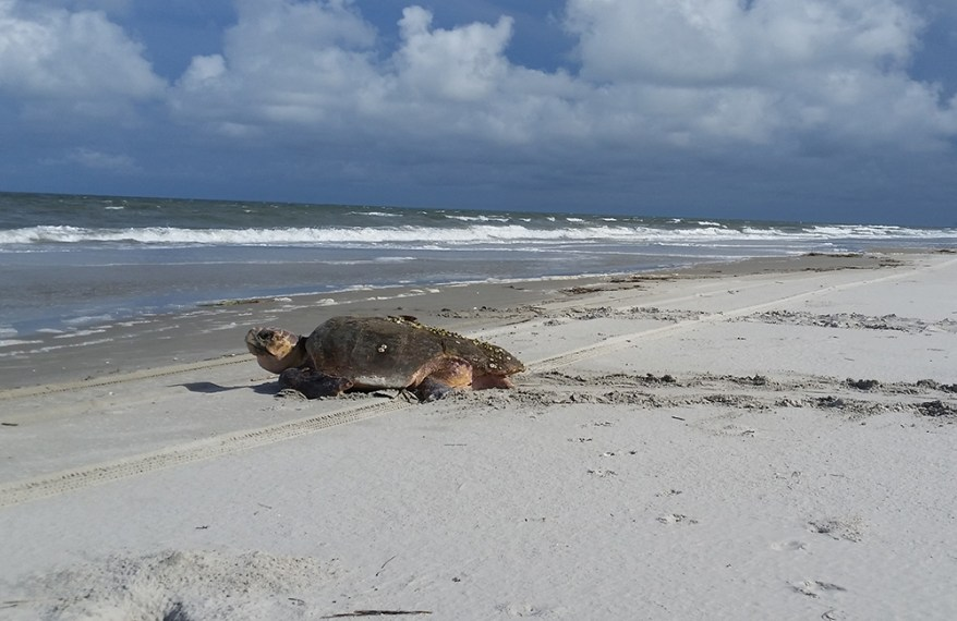 Loggerhead sea turtle, Cumberland Island, Georgia