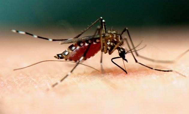 Aedes aegypti mosquito, female