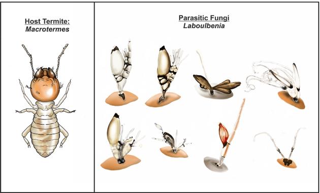 Laboulbenai ectoparasitic fungi
