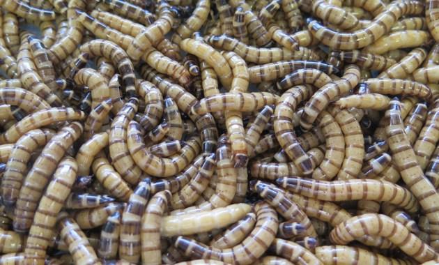 Zophobas morio larvae