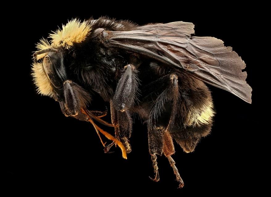 Vosnesensky bumble bee (Bombus vosnesenskii)