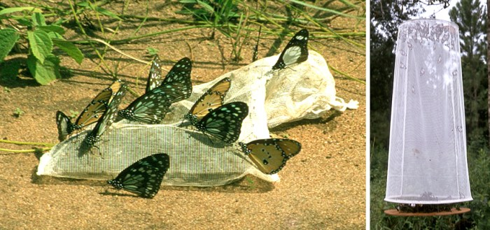 butterflies at PA baits
