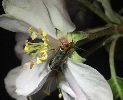 Atalantycha bilineata on apple flower