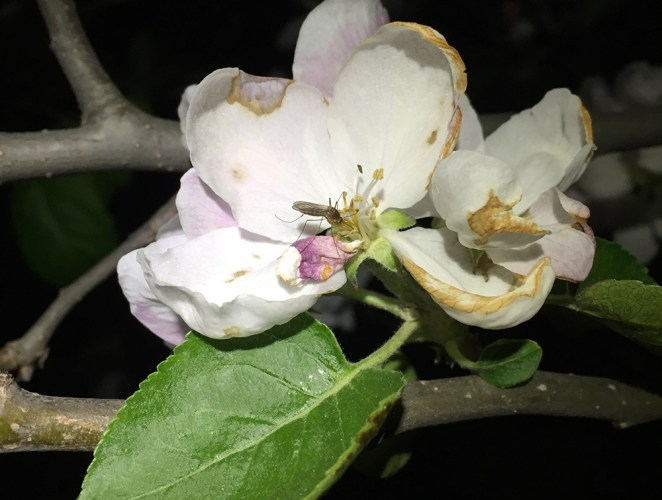 Culex sp. mosquito on apple flower