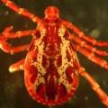 Dermacentor similis, male
