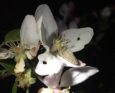 Eupithecia sp. moth on apple flower