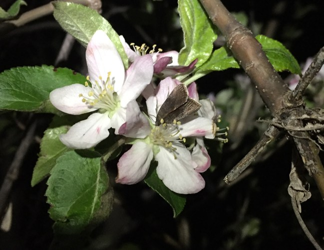 Galgula partita moth on apple flower