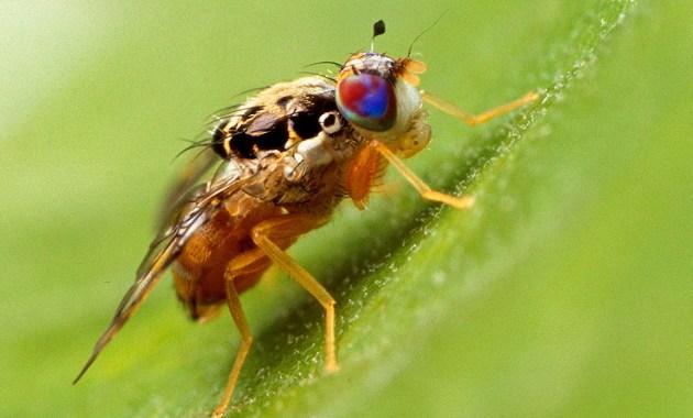 Mediterranean fruit fly (Ceratitis capitata)