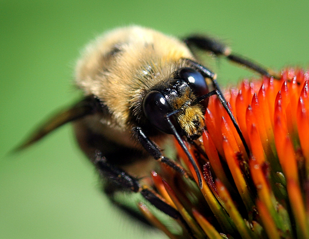 A Tale of Two Pollinators: More Evidence of Neonicotinoids' Effect on Wild Bees