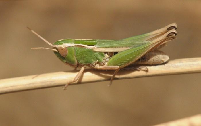 Omocestus panteli, female