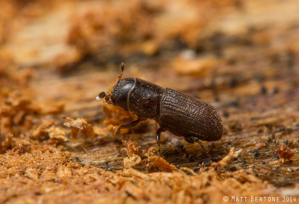 Cut It Out! Managing Southern Pine Beetle Infestations in a Changing Forest Environment