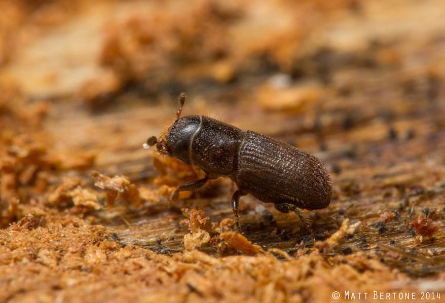 southern pine beetle (Dendroctonus frontalis)