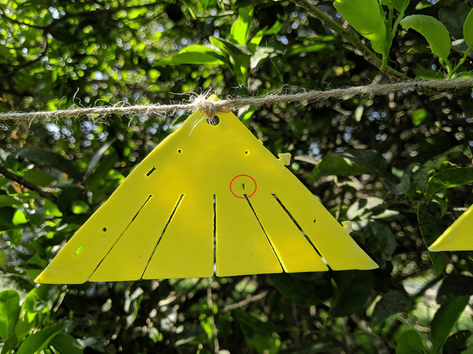 Attract-and-kill device for Asian citrus psyllid - closeup on tree