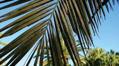 Fiorinia phantasma scale infestation on palm