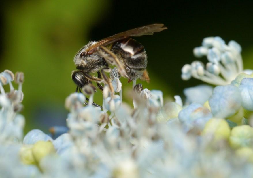 parasitized bee