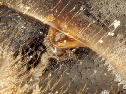 strepsipteran parasite larvae emerging