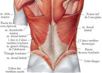 Muscles Lombaires Musculation Et Exercices Dtirement