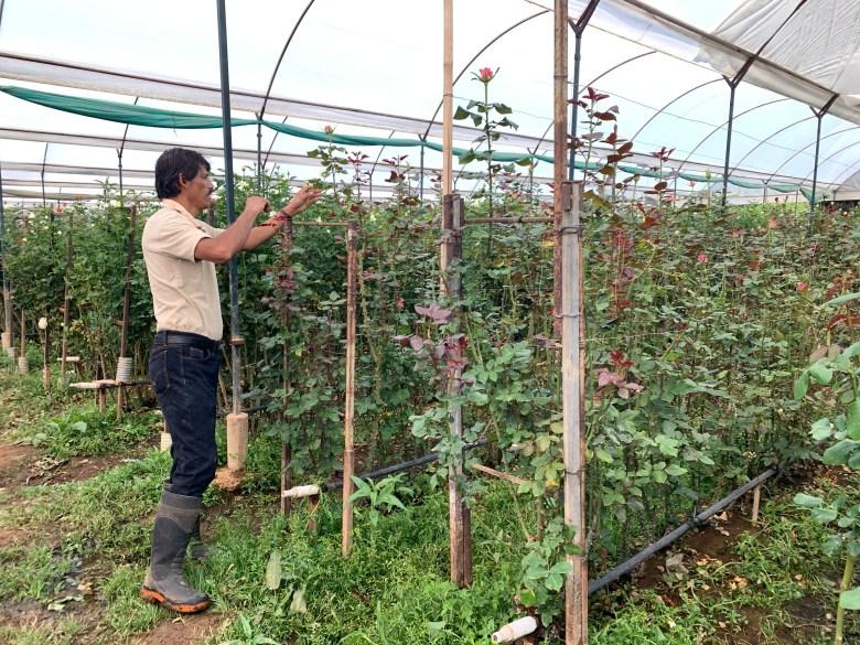 cultivador de rosa en Villa Guerrero